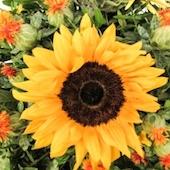 sunflower-bouquet-1430432-m